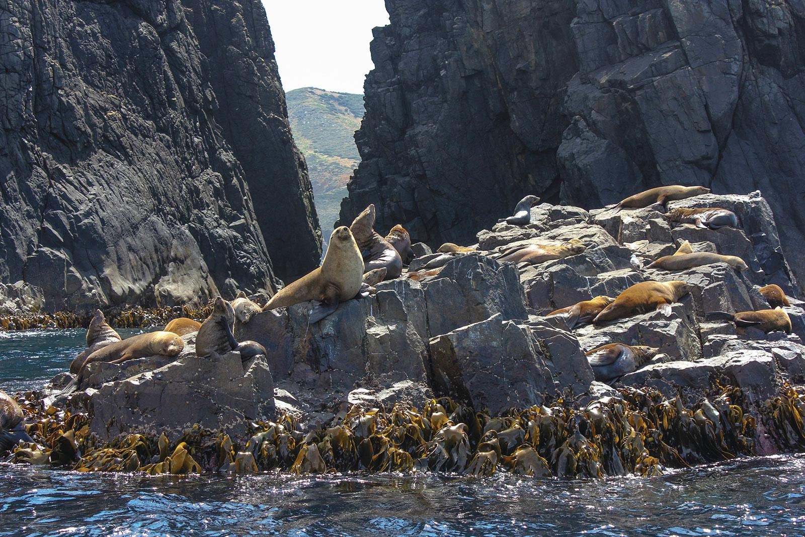Bruny Island Seals