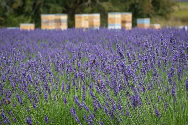 Lavender at Spring time in Tasmania